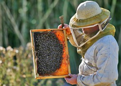 FELIX GOLESI - BEE GONE: A mysterious illness is killing tens of thousands of honeybee colonies across the country