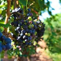 Grapes at NC's Shelton Vineyards.