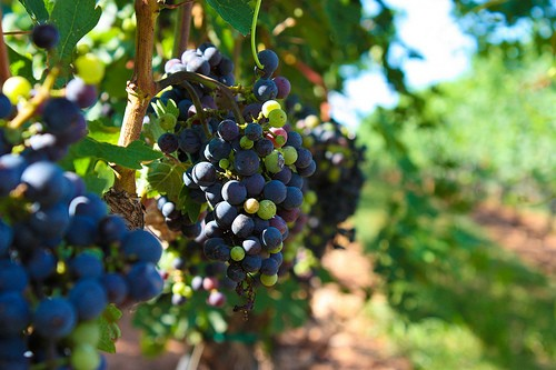 Grapes at NCs Shelton Vineyards.