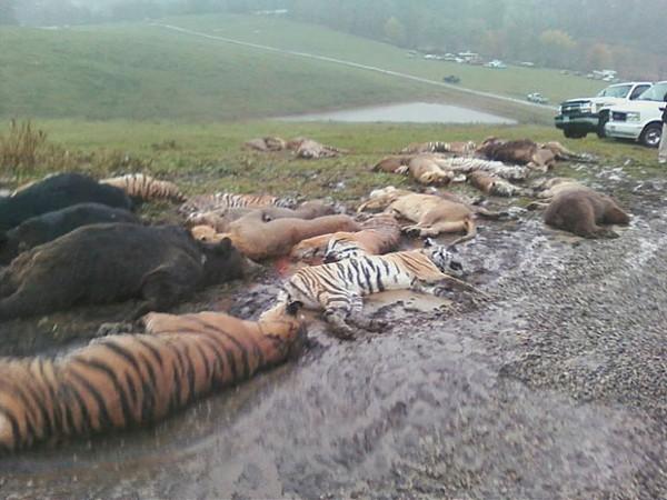 Killed animals awaiting burial yesterday in Ohio