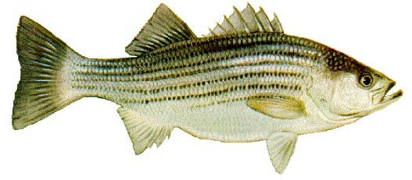 LBF_Striped_Bass