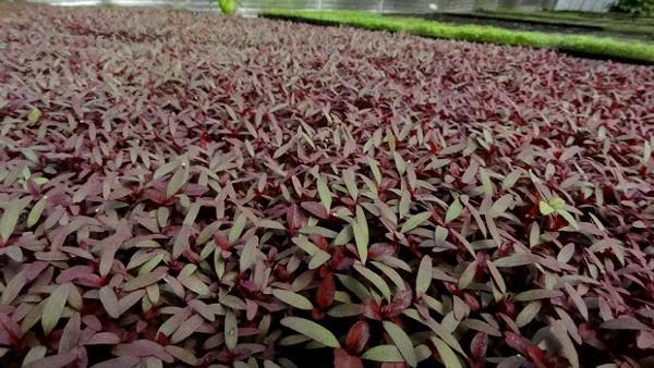 Micro-amaranth