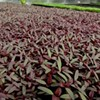 Local Discovery: Micro-greens from Tega Hills Farm