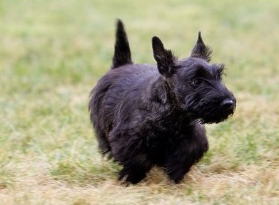 Miss Beazley, the Bushs Scottish Terrier.