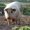 In weird sex news ... man caught have sex with pigs