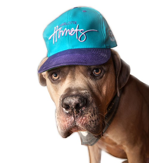 Sir Charles Fat Dick of NoDa, a pit bull / mastiff mix, models a Hornets hat circa 1990s. - JUSTIN DRISCOLL