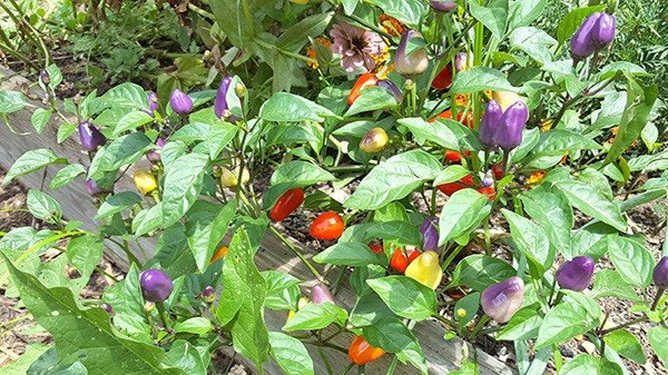 A multicolored pepper plant. (Photo by Alison Leininger)