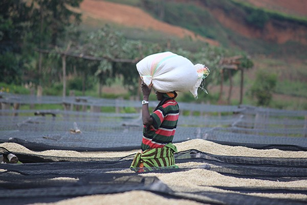 Coffee drying on raised beds in Burundi. (Courtesy of Counter Culture Coffee)