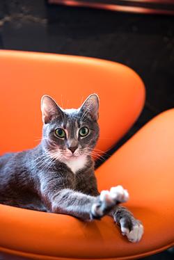 Gretchen the cat at Mac Tabby Cat Cafe. (Photo by Lori Konawalik)