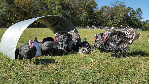 Bronze turkeys from Middle Ground Farm in Monroe.