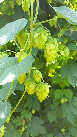 Cascade hop buds. (Photo by Alison Leininger)
