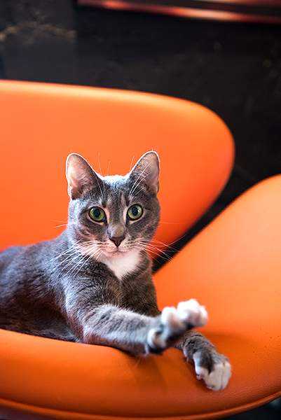 Gretchen the cat at Mac Tabby Cat Cafe. (Photo by Lori Konawalik)
