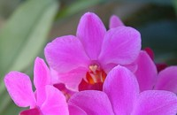 Valentine's Orchid Sale