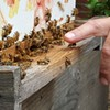 Bees: The next backyard chicken in Charlotte