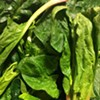 Overwintered Spinach is the Fleshy Meat of Vegetables