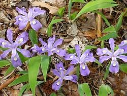 d11b9350_spring_iris-cristata-dwaf-crested-iris.jpg