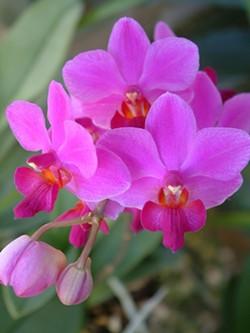 8eff5084_pmg_-_phalenopis_orchid.jpg