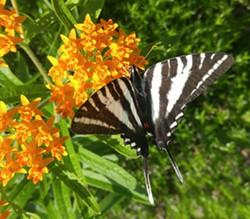 3bdcde13_asclep_butterfly.jpg