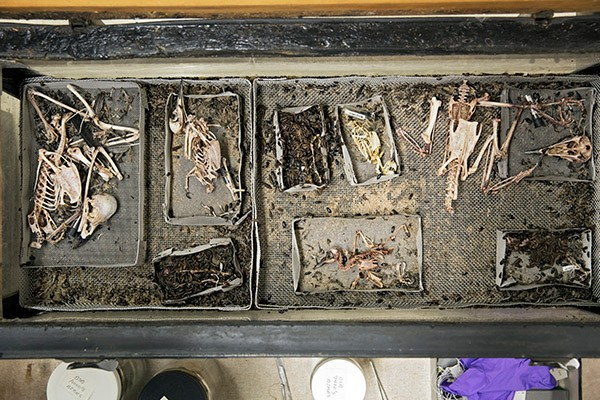 A colony of flesh-eating beetles is often used to clean the animal carcasses seen on Emily Graslie's show. - JEFFREY MARINI