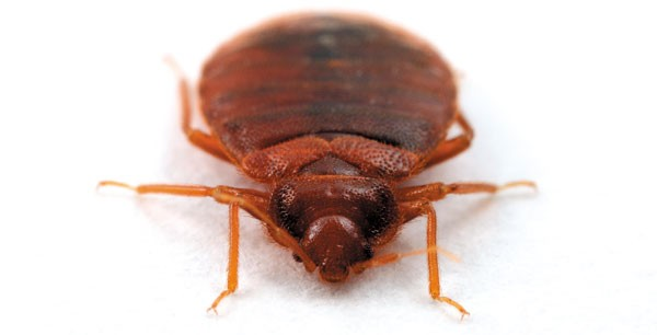 Bedbugs Not Dead Yet Feature Chicago Reader