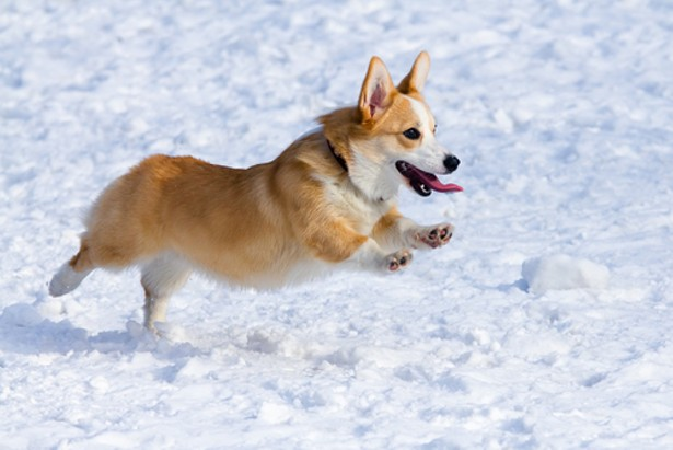 Three Theories Why Corgis Are Now Running The Internet