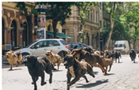 Dogs bite man in the Hungarian drama <i>White God</i>