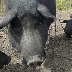 Food Issue 2008: The Whole Hog Project