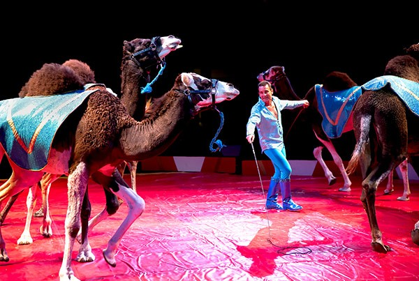 Ian Gardner Jr. puts the camels through their paces under the big top at Circus World. - COURTESY CIRCUS WORLD