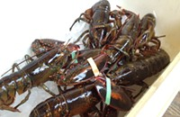 Really cheap (but small) lobster today and tomorrow