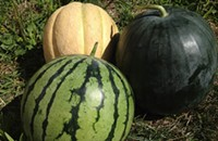 Melon time with Seedling Fruit