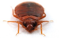 Starting today on the Bleader: Bedbugs Week