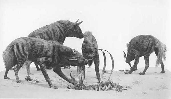 The hyenas in their current diorama in the Hall of Reptiles - © THE FIELD MUSEUM