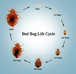 life-cycle-of-bed-bugs.jpg