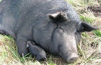 The Whole Hog Project: fall pig pics
