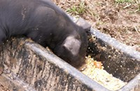 The Whole Hog Project: Name that piglet