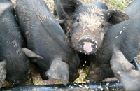 The Whole Hog Project: Piglet video from Hillspring's summer solstice festival