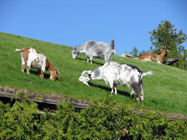 There is no more endearing sight on the entire peninsula than the goats grazing on the roof of Al Johnson's Swedish Restaurant. - JESSE LISA