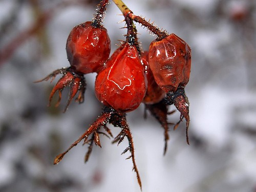 These rose hips are waiting to be turned into Drank.