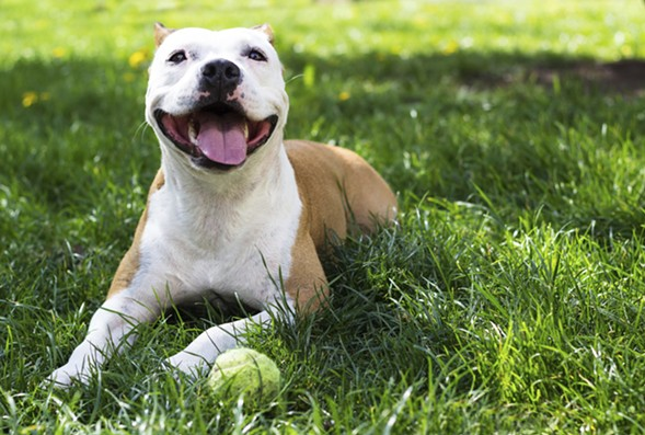 Support pitbulls at the Chicago Pit Stop Rescue Paw-ty on Wed 2/24. - GETTY