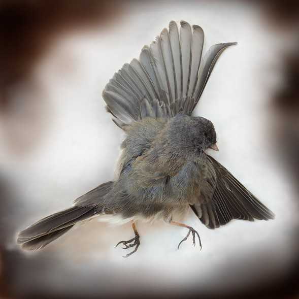 Dark-Eyed Junco, Art Fox - COURTESY PEGGY NOTEBAERT NATURE MUSEUM