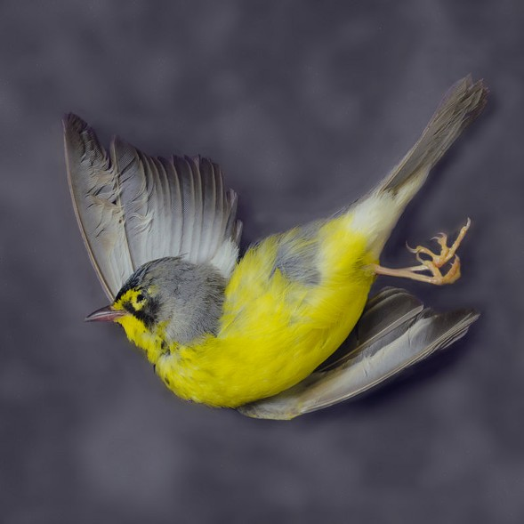 Canada Warbler, Art Fox - COURTESY PEGGY NOTEBAERT NATURE MUSEUM
