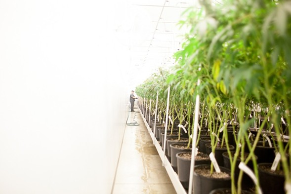 Revolution Enterprises, which operates a cultivation center in downstate Delavan, is one of 17 businesses allowed to grow medical cannabis in Illinois. - DANIELLE A. SCRUGGS