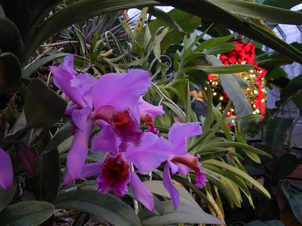 Holiday greenhouse at the Chicago Botanic Garden - DEANNA ISAACS