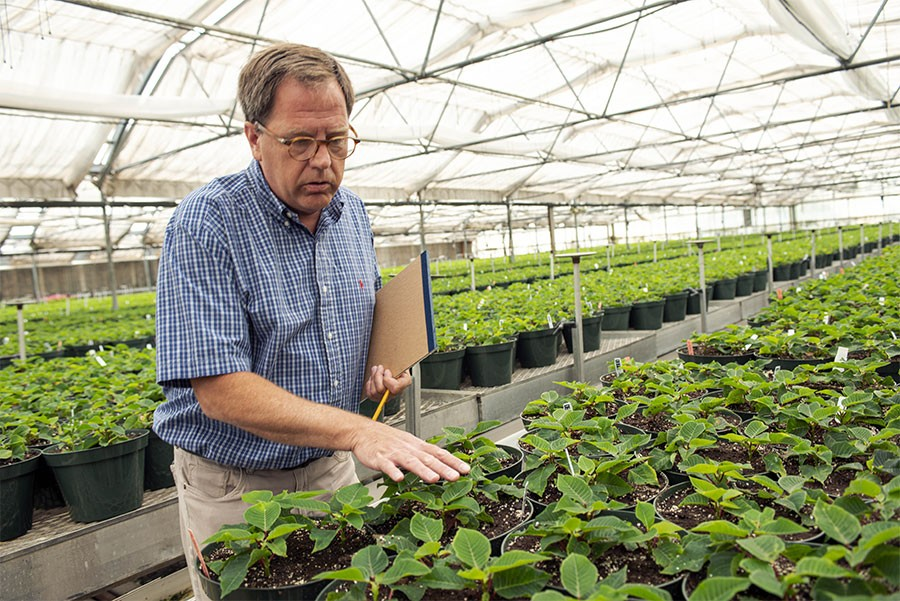 Leider Greenhouses grows poinsettias several months in advance of the winter. - HANNAH STEINKOPF-FRANK