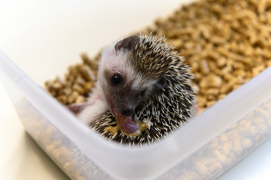 When encountering a new smell the hedgehog will build a froth in its mouth and then lick it into its quills in a behavior called anointing. - GONZALO GUZMAN