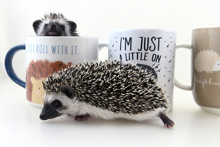 Hedgehogs are solitary animals and can become territorial as adults. - GONZALO GUZMAN