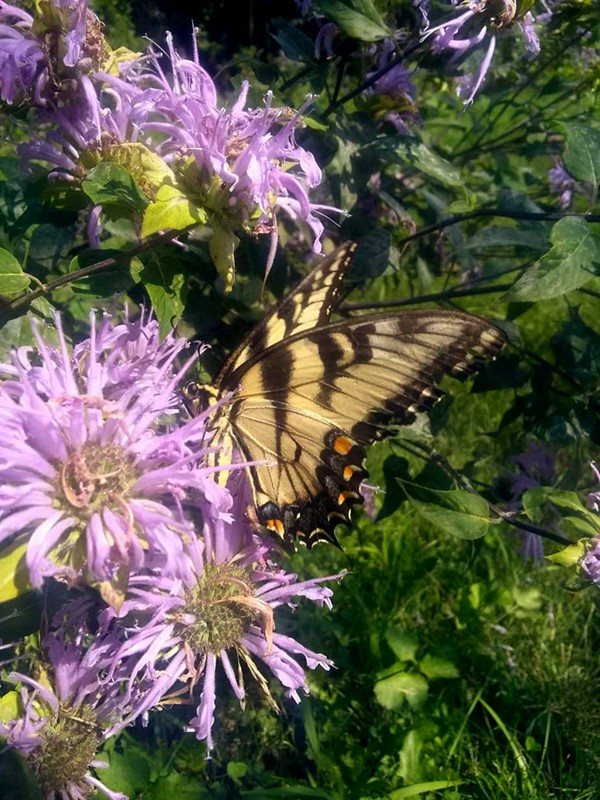 Eastern tiger swallowtail - NANCE KLEHM