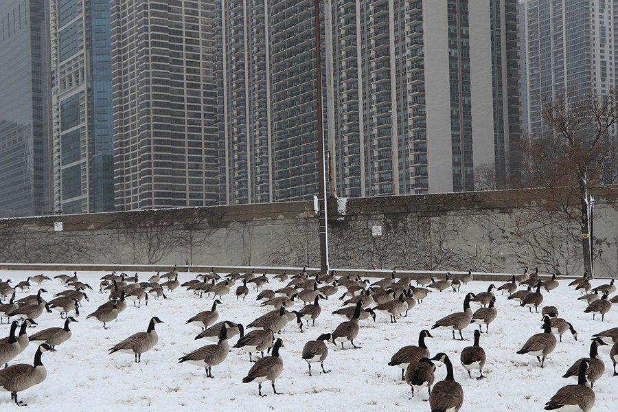 Canada Geese eat grass in a field near Lake Shore Drive on January 26. The Indiana Department of Natural Resources notes that geese choose to eat in open areas so they can watch for predators, though this is yet another adaptation that is unnecessary in the city. - CAROLINE CATHERMAN