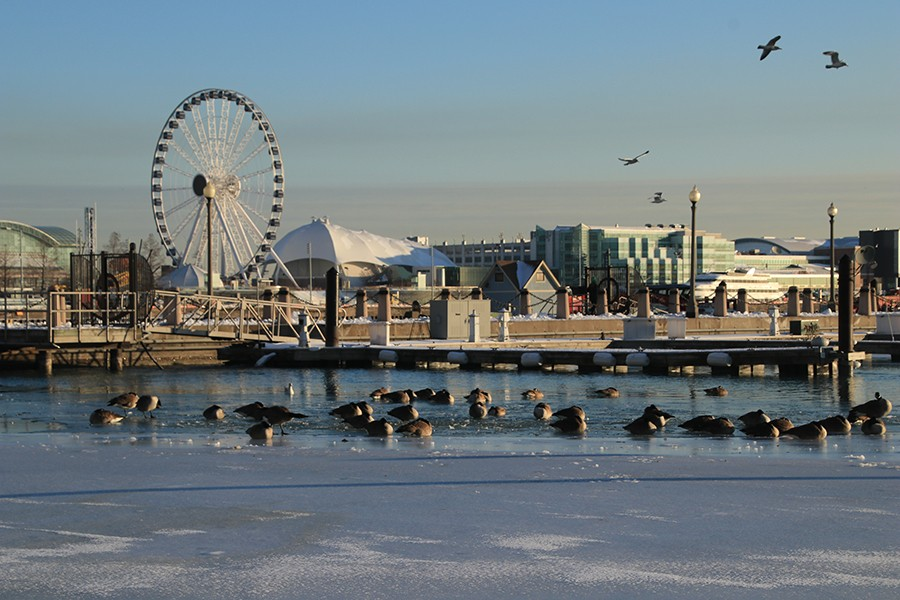 A group of Canada Geese wakes up after a night sleeping on icy waters near the iconic Navy Pier on Friday, January 29, 2021. Scientists think that geese sleep on the water to evade land predators, though that isn't necessary in the city. - CAROLINE CATHERMAN