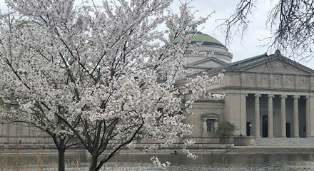Reset your mind with cherry blossoms